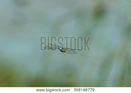A Blue Emperor Dragonfly, Anax Imperator, In Flight