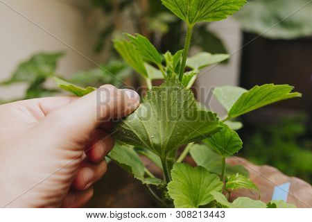 White Fly Plague In A Green Plant Leave, And Hand Holding It.