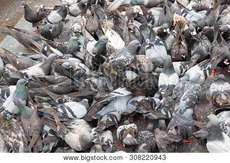 Pigeons Eat Bread On The Floor In-park Bangkok Thailand Concept Avian Influenza