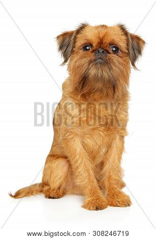 Portrait Of A Young Brussels Griffon Sits On White Background. Animal Themes