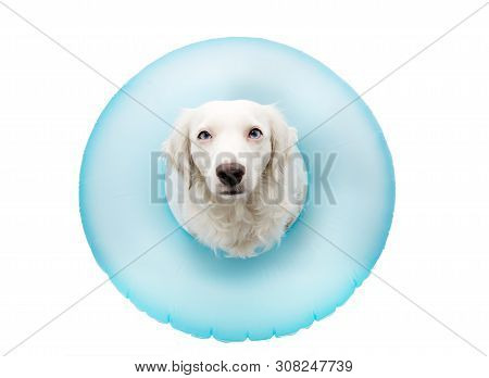 Dog Summer Vacations. Puppy Inside A Inflatable Or Blue Float Pool. Isolated Against White Backgroun