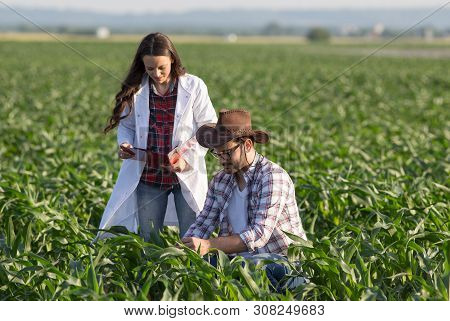 Satisfied Farmer And Woman Agronomist Checking Corn Quality In Field In Early Summer