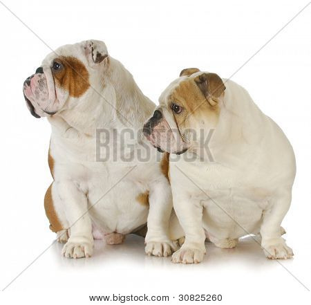 two male bulldogs father and son at 2.5 and 1 year old poster