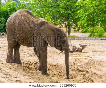 African Elephant With Small Tusks In Closeup, Vulnerable Animal Specie From Africa
