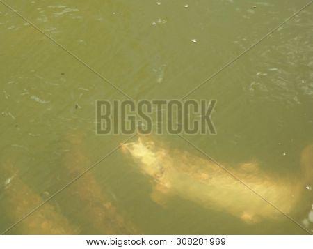 close up of atlantic salmon feeding at an aquaculture facility poster