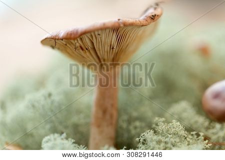 nature and environment concept - lactarius rufus mushroom in reindeer lichen moss