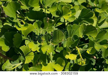 Shrub Named Ginkgo, Latin Name Ginkgo Biloba. The Leaves Of This Bush Have Therapeutic Effects.