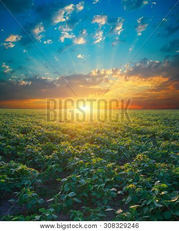 Soybean Field, Green Field, Agriculture Landscape, Field Of Soybean On A Sunset Sky Background