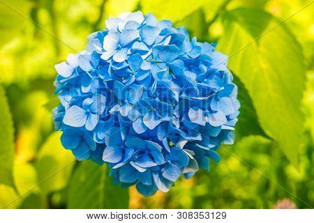 Blue Hydrangea Or Hortensia (hydrangea Macrophylla) On Natural Green Background.