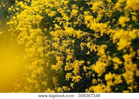 Drok, Shrub With Yellow Flowers, Yellow Flowers On The Whole Frame,