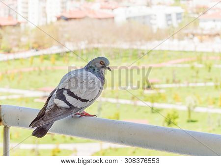 Profile Of A Gray Pigeon Standing On The Balcony Parapet With A Blurry View Of A Park.