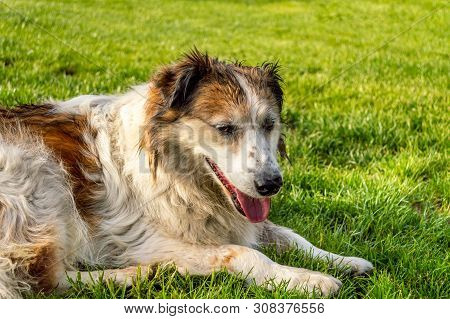Profile Of White And Brown Colored Stray Dog Lying On The Grass In A Park.