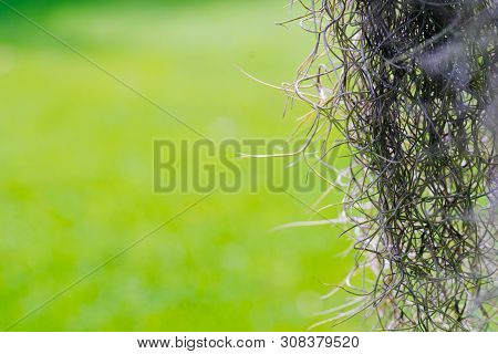 Close-up Of Air Plant Tillandsia Usneoides Plant Or Spanish Moss  Or Dendropogon Usneoides Green Pla
