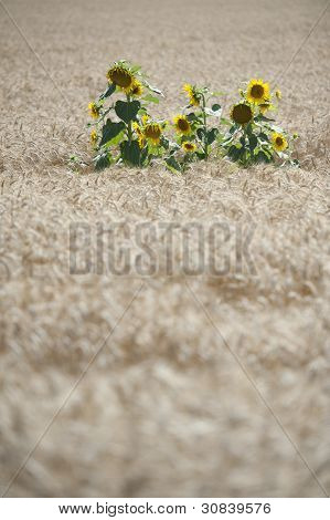 Sunflowers in a wheat field