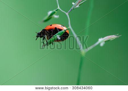 Ladybug In The Top Of A Plant, Coccinellidae, Arthropoda, Coleoptera, Cucujiformia, Polyphaga