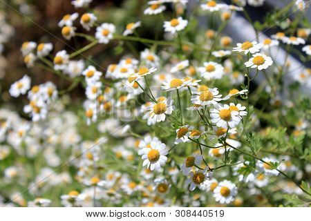 Daisies In The Field Near The Mountains And The Guardrail. Meadow With Flowers.