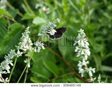 A Black And White Moth Butterfly Takes Nectar From An All White Bloom. The Contrasting Color Of Its