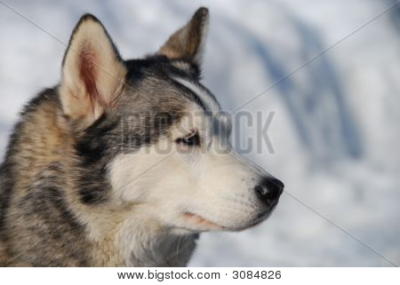 Close up of a husky dog in the snow. poster