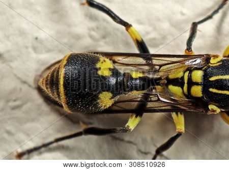 Macro Photography Of Abdomen And Stinger Of Baby Wasp On The Wall