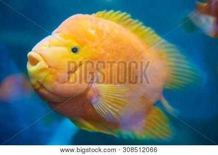 Fish Aquarium. Dangerous Fish Swiming In Aquarium In Oceanarium. Colorful Aquarium Tank Filled With
