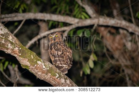 Owl In Tree With Large Bright Yellow Eyes On Branch Along Kinabatangan River In Sabah, Borneo.