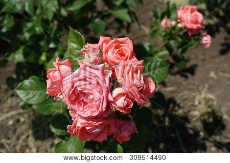 Florescence Of Pink Rose Bush In The Garden