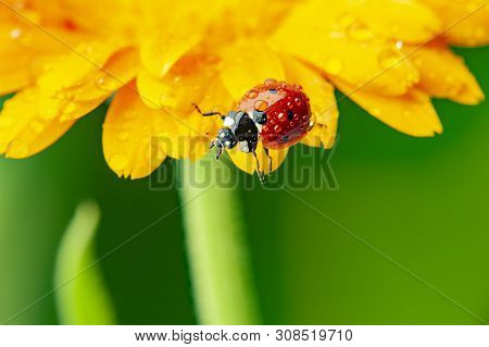 Seven-spot Ladybird, Coccinella Septempunctata On A Flower