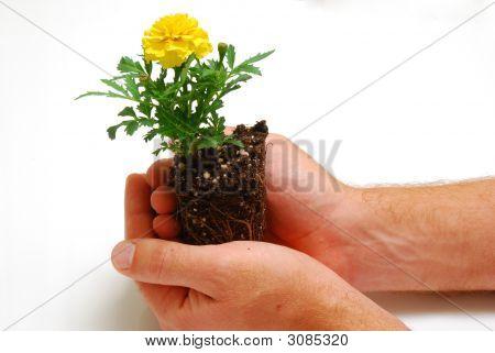 Marigold In Hand