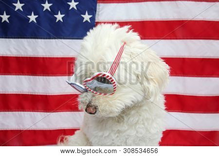 White Dog with American Flag. White Dog wears american flag glasses. 4th of July celebration with a small white dog.