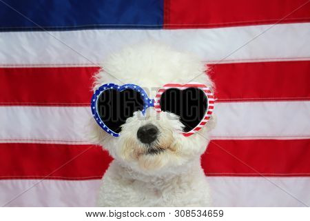 Bichon Frise Dog and American Flag. Small White Bichon Frise dog wears American Flag Glasses. 4th of July celebration with a small white dog.