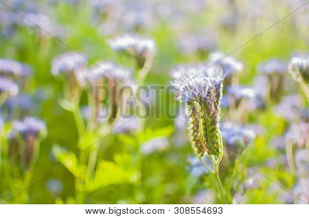 Purple Flower of Lacy Phacelia Tanacetifolia, close up. Blue tansy - honey plant, attracting pollinators such as honey bees or bumblebee, banner. Blossoming bee pasture in the sunlight. Violet-flowering Phacelia. Meadow flowers that bloom purple and blue. poster