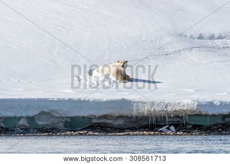 Large adult male polar bear emerges from his snow bed in Svalbard,  a Norwegian archipelago between mainland Norway and the North Pole