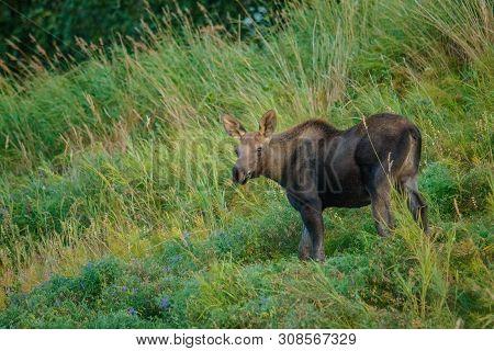 Moose Calf In Grassy Kincaid Park In Anchorage In Alaska