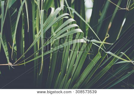 Close Up Of Palm Leaves Nature Background. Nature Background Of Palm Leaves. Palm Tree Leaves Nature