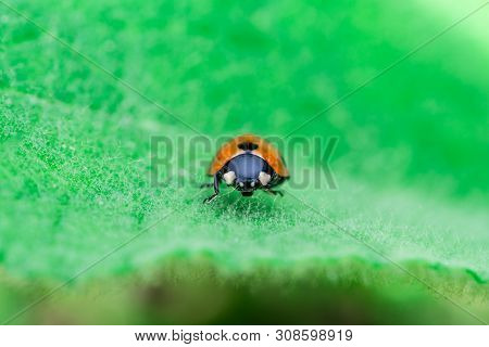 Ladybug Standing In The Middle Of The Leaf, Coccinellidae, Arthropoda, Coleoptera, Cucujiformia, Pol