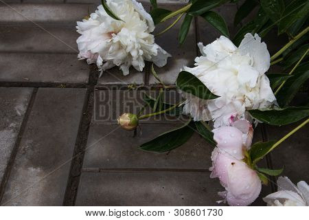 Summer flowers, beautiful big blooming wite and pinck wilted peony flowers with buds on a concrete background after rain. Selected focus poster