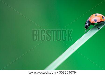 Ladybug Walks Down On A Leaf, Coccinellidae, Arthropoda, Coleoptera, Cucujiformia, Polyphaga