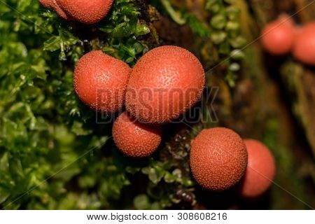 Lycogala Epidendrum (wolfs Milk, Groenings Slime) - A Type Of Mold That Lives On Rotten Stumps