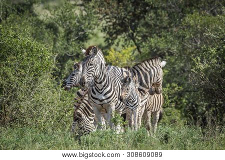 Plains Zebra Famlly In Green Savannah In Kruger National Park, South Africa ; Specie Equus Quagga Bu