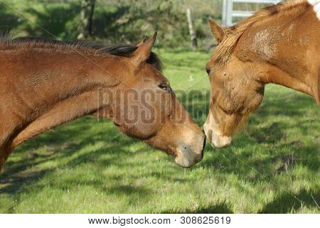Two Muddy Horses Sniffing Nose