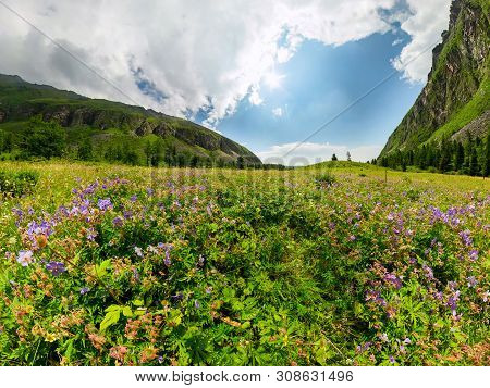 Fogy Field Of Blue Flover On A Cloudy Day. Wide Panorama