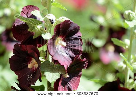 Dark Flowers Of The Hollyhock (alcea Rosea) In The Summer Garden Close-up