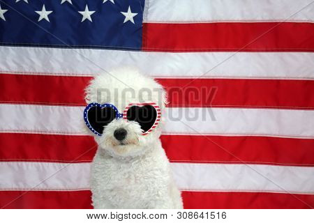 Bichon Frise with American Flag and American Flag Sun Glasses. A Bichon Frise Dog poses with an American Flag for a 4th of July Photo Shoot.