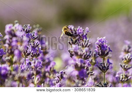 Lavender Flowers In The Sun In Soft Focus, Pastel Colors And Blur Background. Purple Field Of Lavend