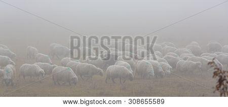 Flock Of Sheep In The Fog, In Remote Rural Field In Eastern Europe