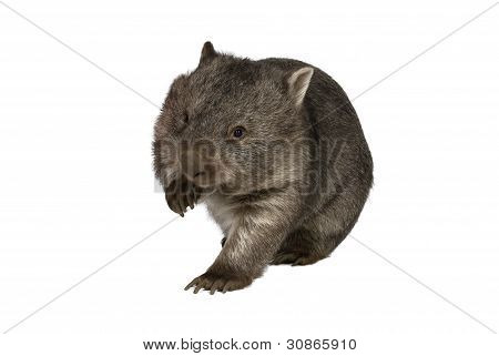 Common wombat Vombatus ursinus hirsutus on white background
