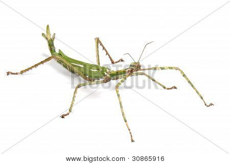 Giant Goliath Stick Insect on white background