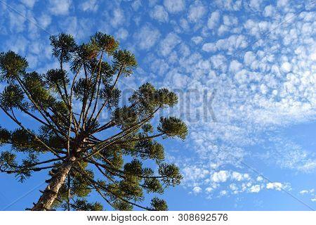 Bottom View Of Beautiful Araucaria (parana Pine Tree) And Blue Sky (curitiba, Parana, Brazil) (south