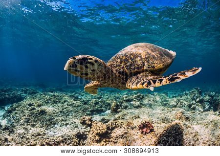 Turtle Swim Over Coral Bottom In Underwater Ocean. Sea Life With Turtle
