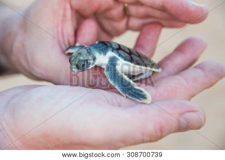 Human Hands Holding Flatback Sea Turtle Hatchling On Bare Sand Island In The Northern Territory Of A